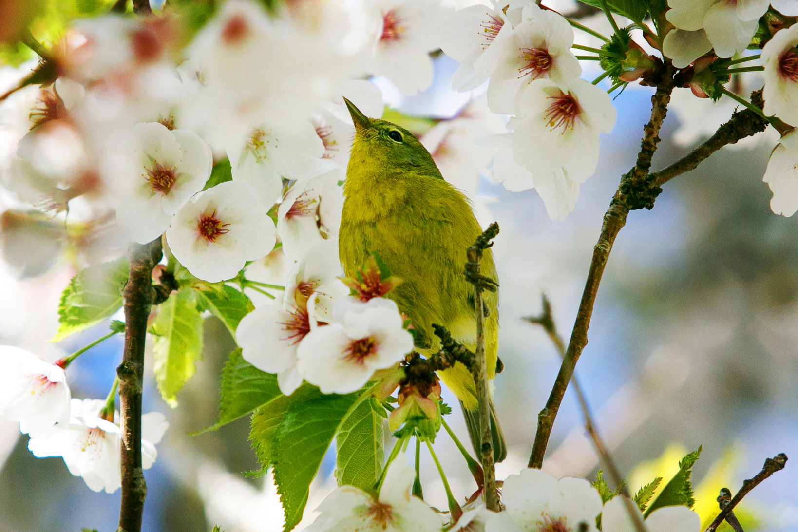 Bright green Warbler bird sitting in cherry blossoms.