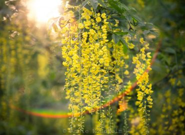 Flowers hang from a Golden Chain Tree in the morning sun with rainbow flare below them.