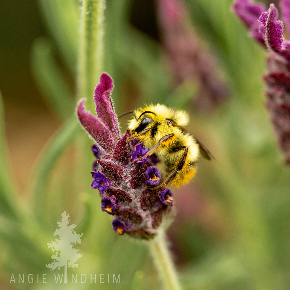 Yellow bumble bee lands on Spanish lavender.