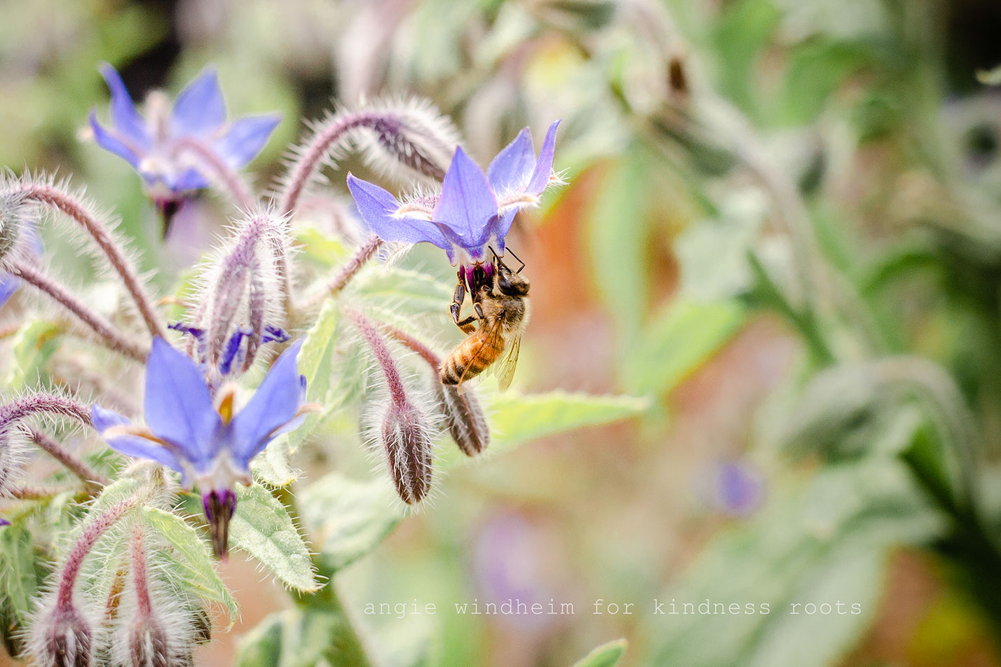 A honey bee drinks nectar from the blue flower or a borage plant.